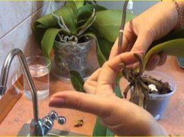 Отличный способ реанимации орхидеи. И столько цветков потом на 1 ветке