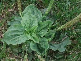 Этот маленький сорняк один из наиболее полезных лекарств на планете