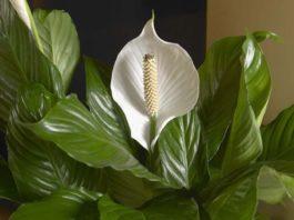 Топ-7 комнатных цветов, которые приносят удачу. Народные приметы и суеверия. Верить или нет решать Вам
